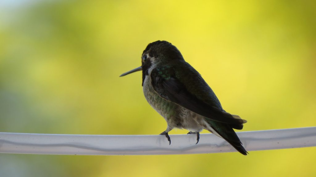 Black Chinned Humming Bird - Fallbrook, CA