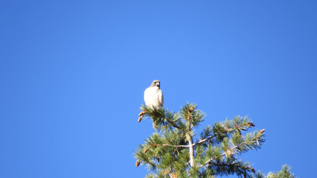 Red Shouldered Hawk - Sequoia National Park