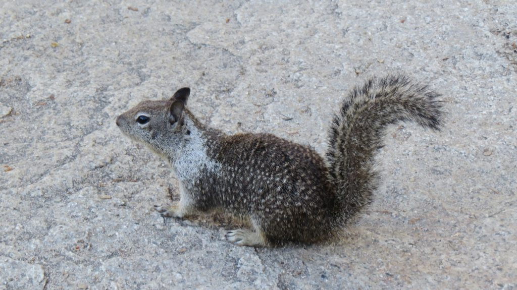 Western Gray Squirrel - Yosemite National Park