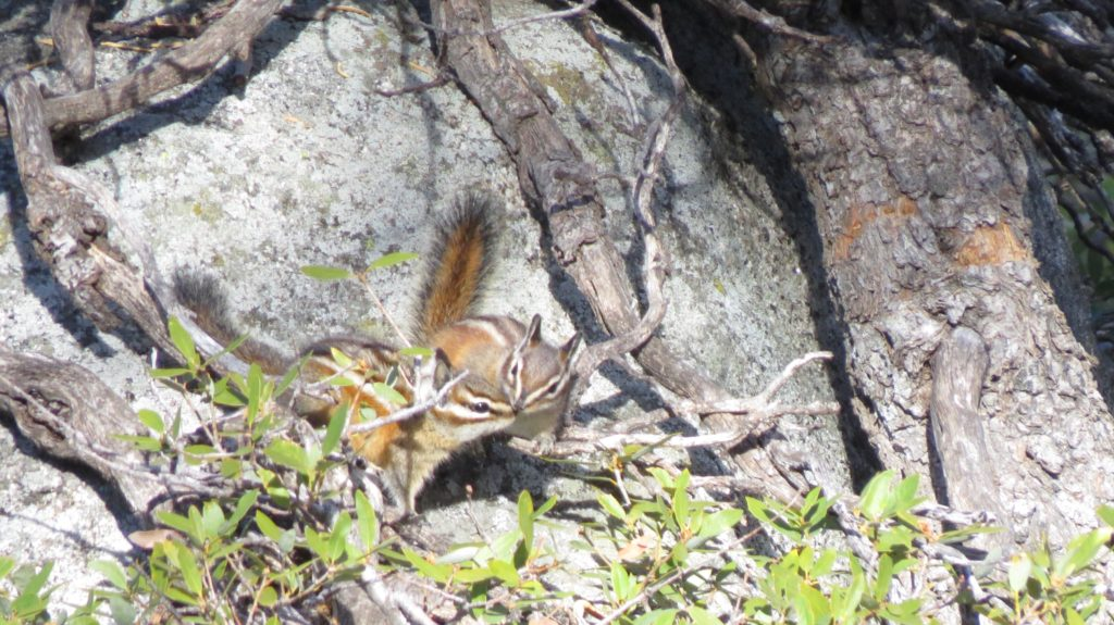 Golden Mantled Ground Squirrel or Squirrels - Yosemite National Park