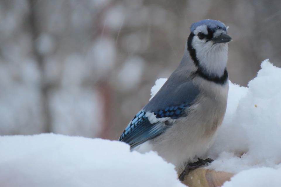 Blue Jay - Saugatuck, Michigan