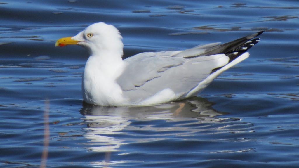 Herring Gull, Douglas, MI