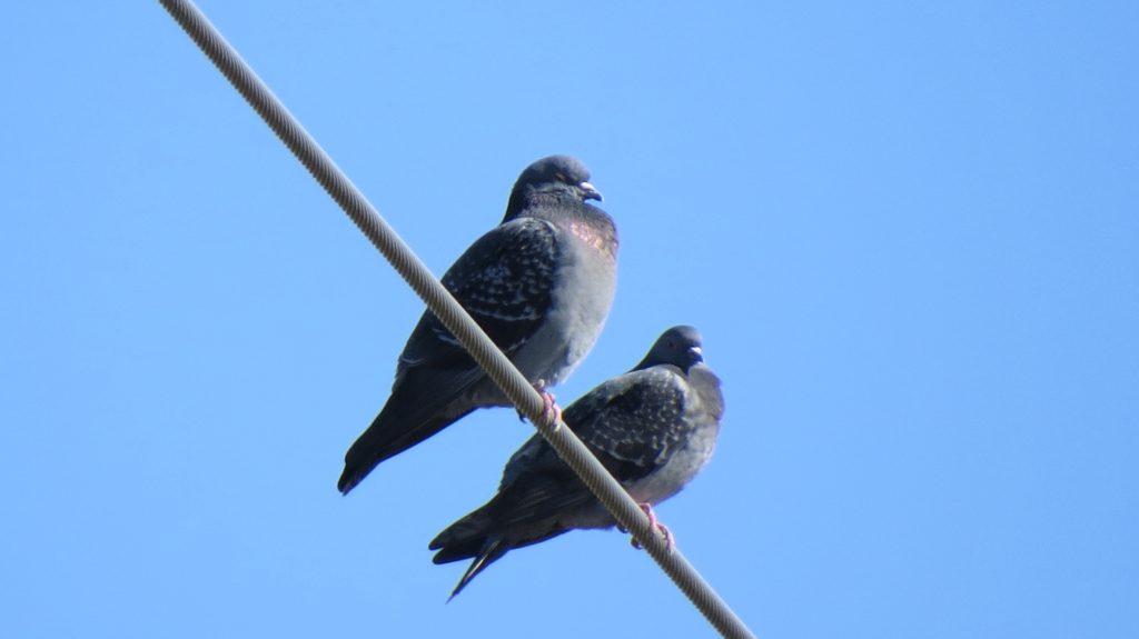 Rock Pigeon, Douglas, MI