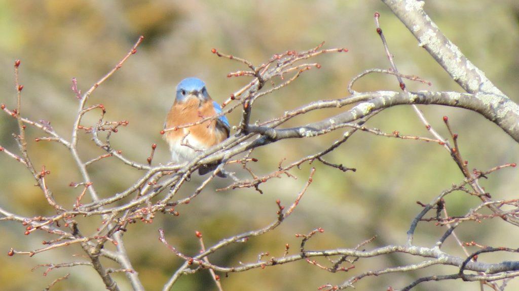 Eastern Bluebird, Saugatuck Township, MI