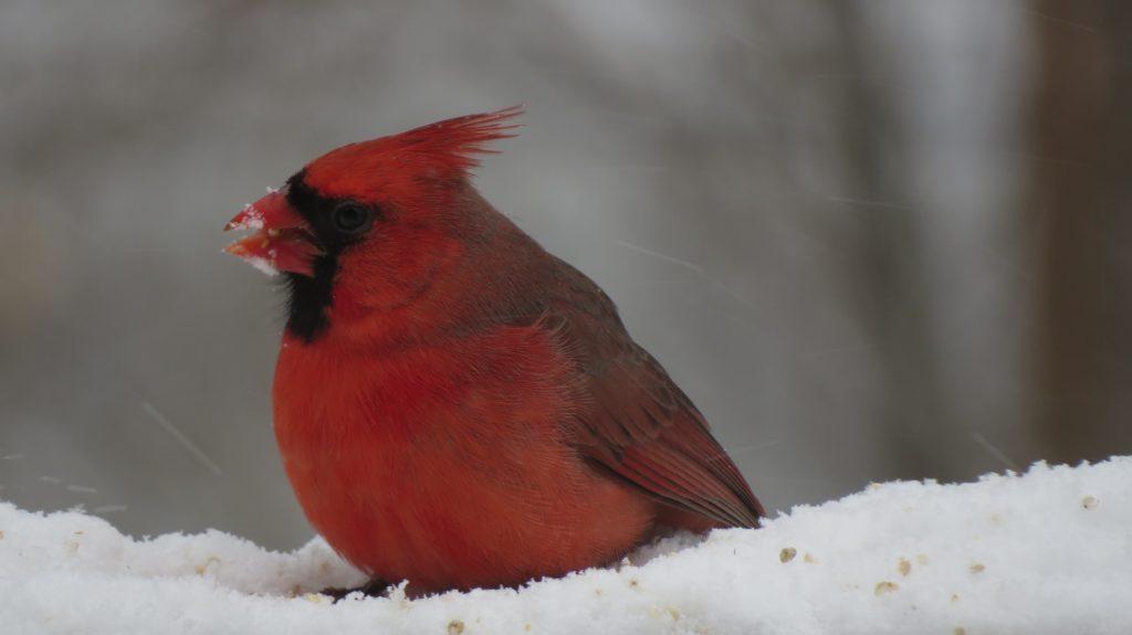 Cardinal, Saugatuck, MI
