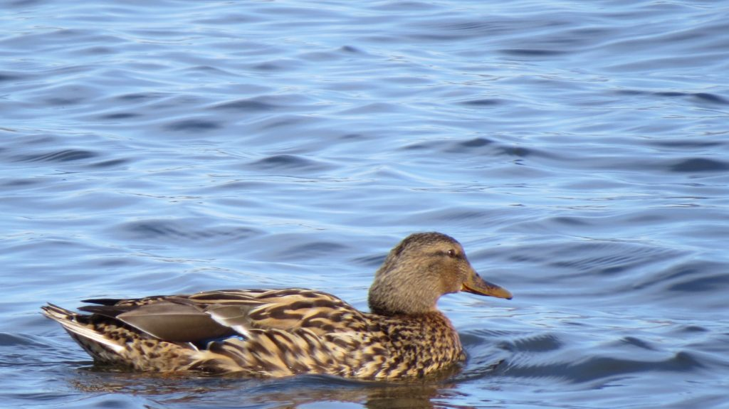Mallard Duck (Female)- Saugatuck, MI