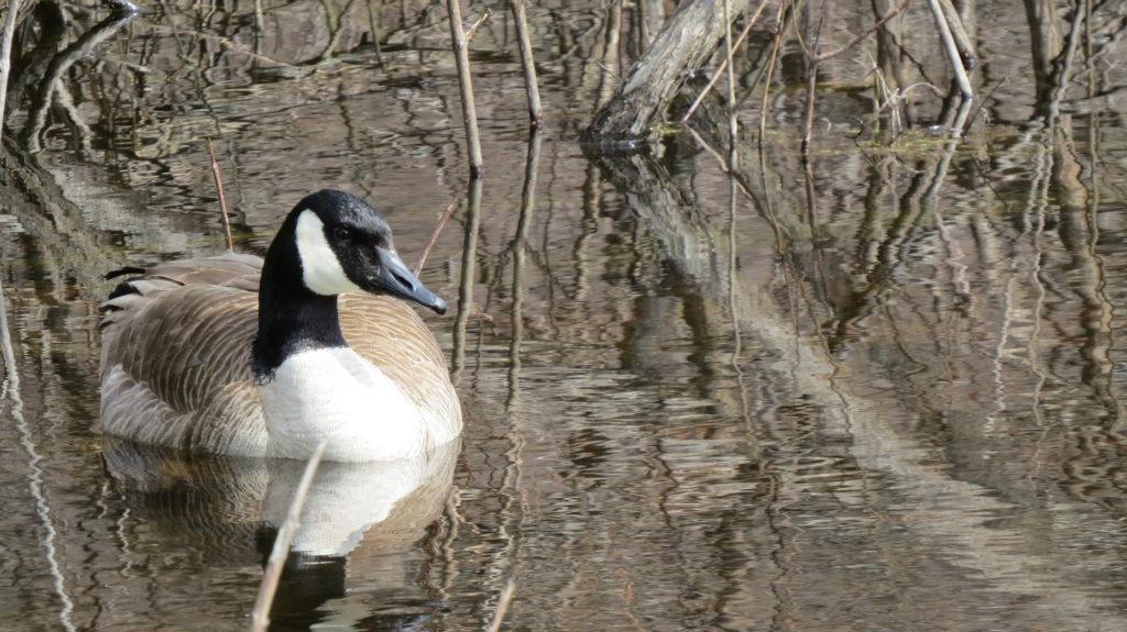 Canada Goose - Saugatuck Township, MI