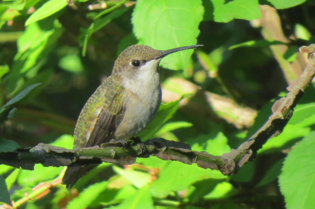 Ruby-Throated Hummingbird - Saugatuck, Michigan