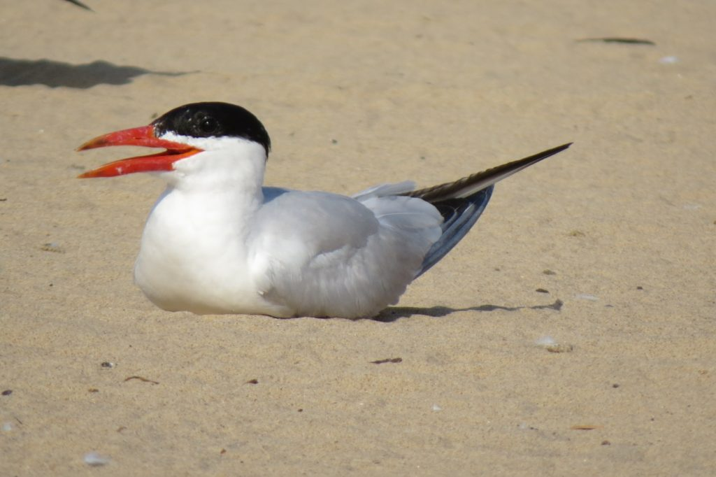 Artic Tern - Saugatuck Michigan