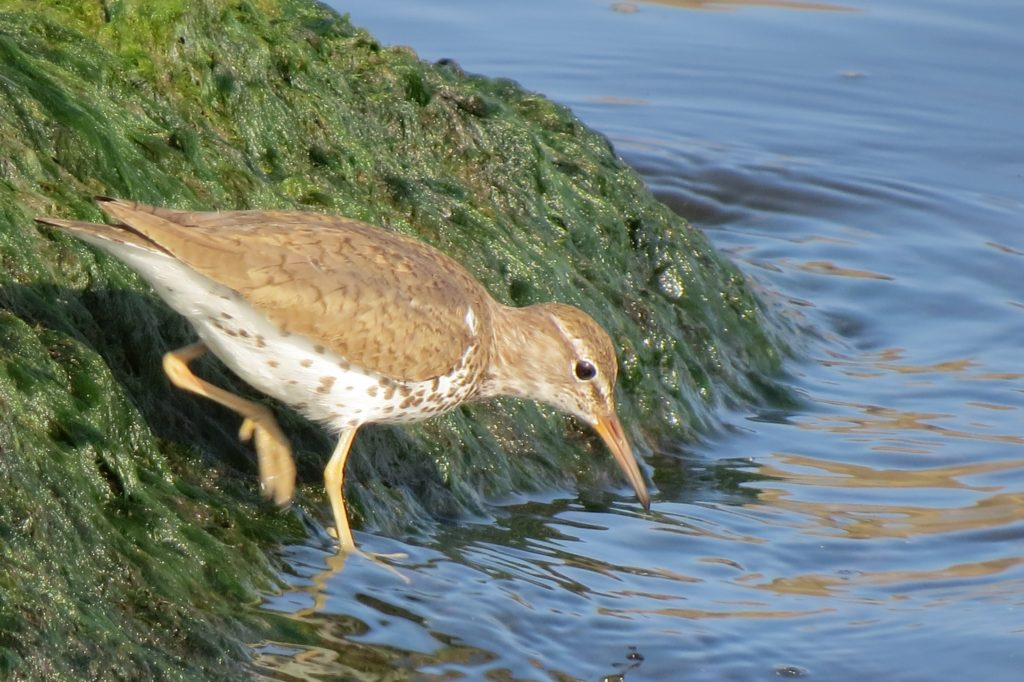 Spotted Sandpiper - Saugatuck, Michigan