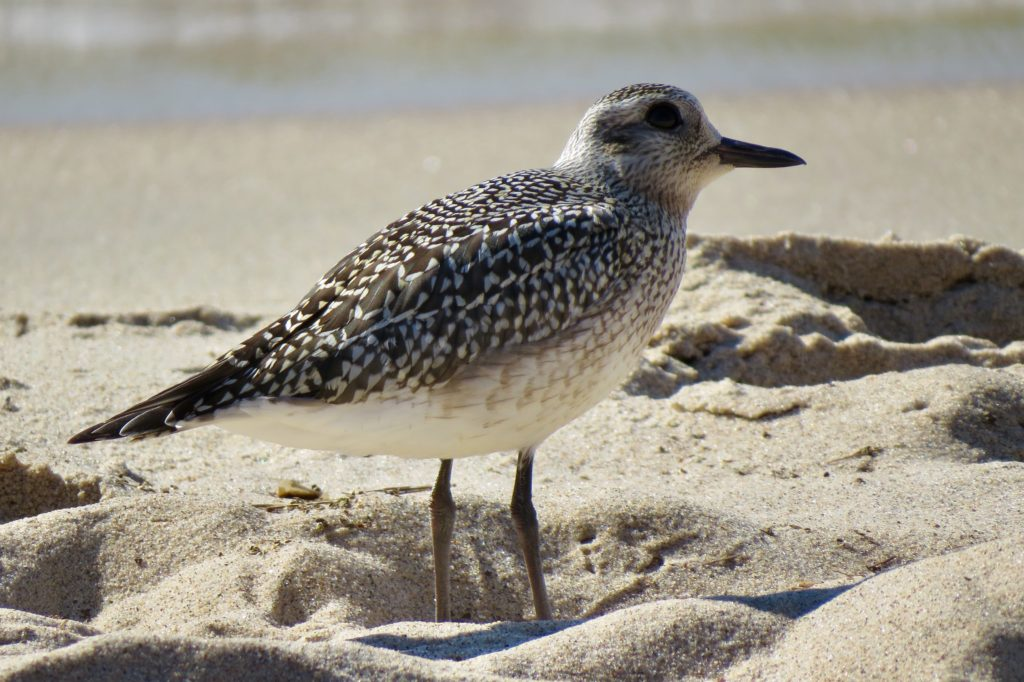 American Golden Sandpiper - Saugatuck, Michigan