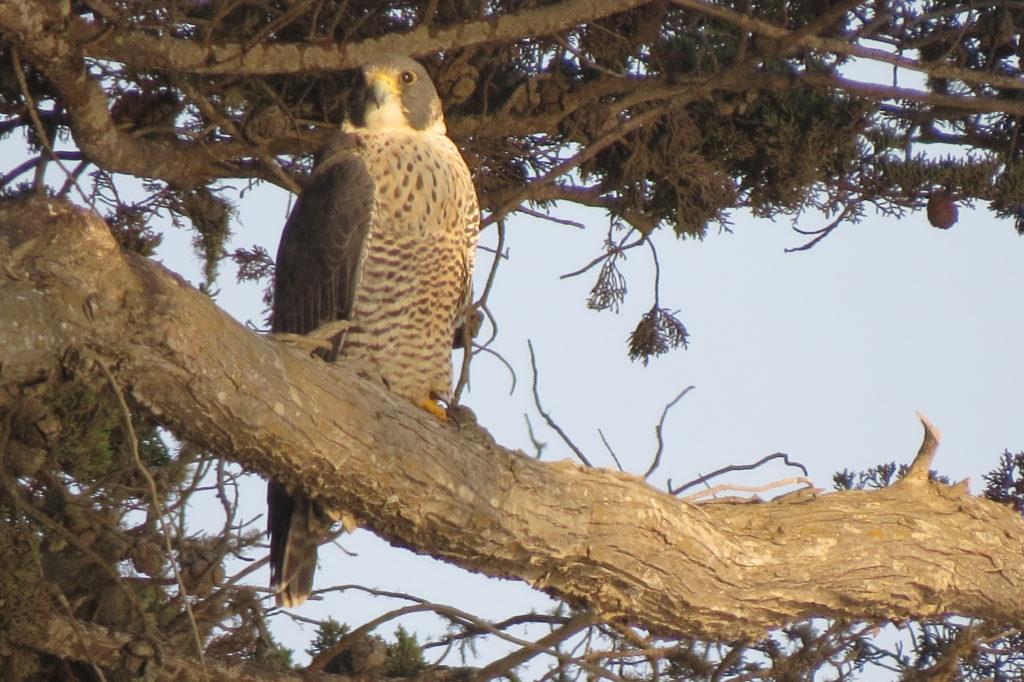 Peregrine Falcon - Santa Cruz, CA