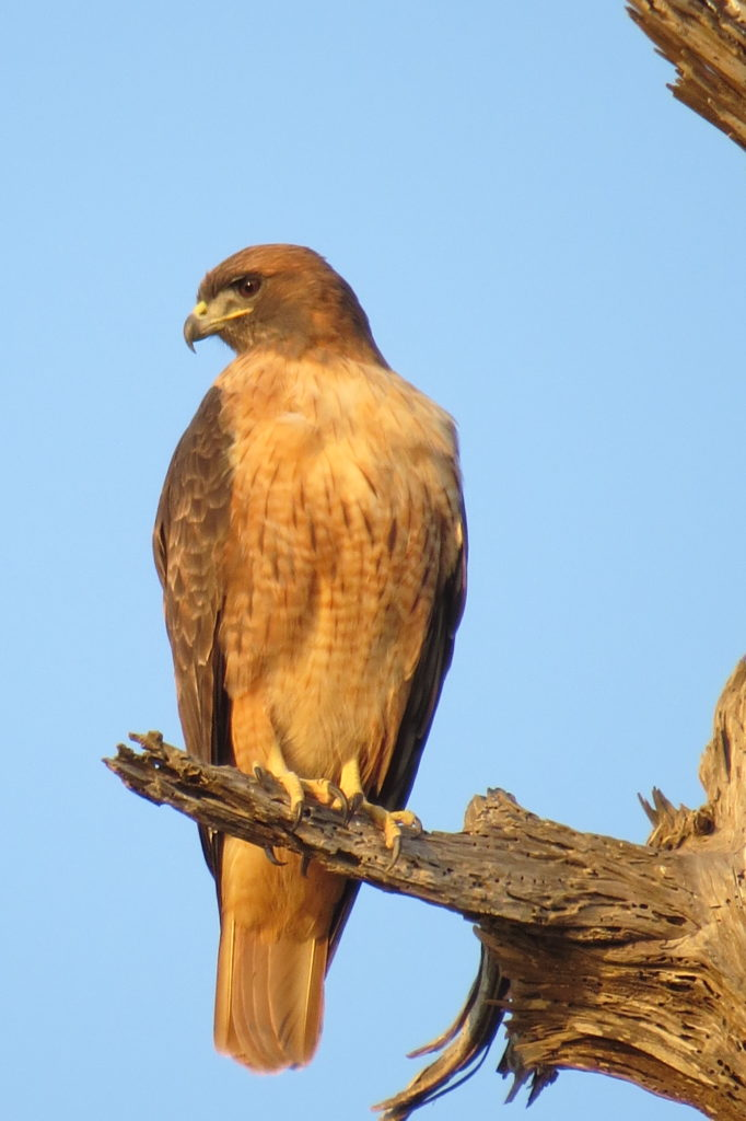 Red Tailed Hawk - Santa Cruz, CA
