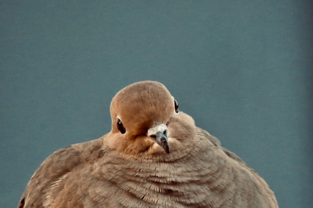 Mourning Dove - Saugatuck Michigan