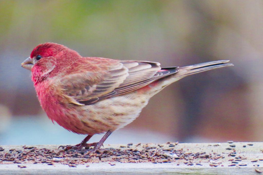 House Finch - Saugatuck, Michigan